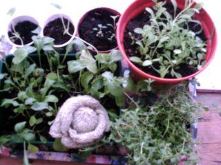 Cabbage 004